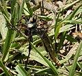 Robberfly. Asilidae (37931903256).jpg