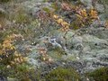 File:Rock ptarmigan (Lagopus muta) at Skaftafell National Park, Iceland.webm