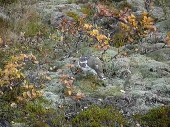 קובץ:Rock ptarmigan (Lagopus muta) at Skaftafell National Park, Iceland.webm