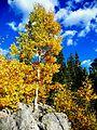 Rocky Mountain National Park in September 2011 - Aspen near Bear Lake.JPG