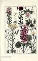 Rocky mountain flowers (Plate 30) (6279689259).jpg