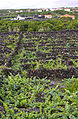 Rocky terraced vineyards of the Azores.jpg
