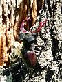 Roháč obecný (Lucanus cervus) 01.jpg