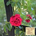 "Rosa ""Grand Award"" o POULcy 017.jpg"