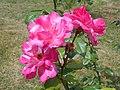 Rosa Handel 2018-07-08 4166.jpg