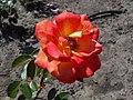Rosa Piccadilly 2018-07-16 6597.jpg