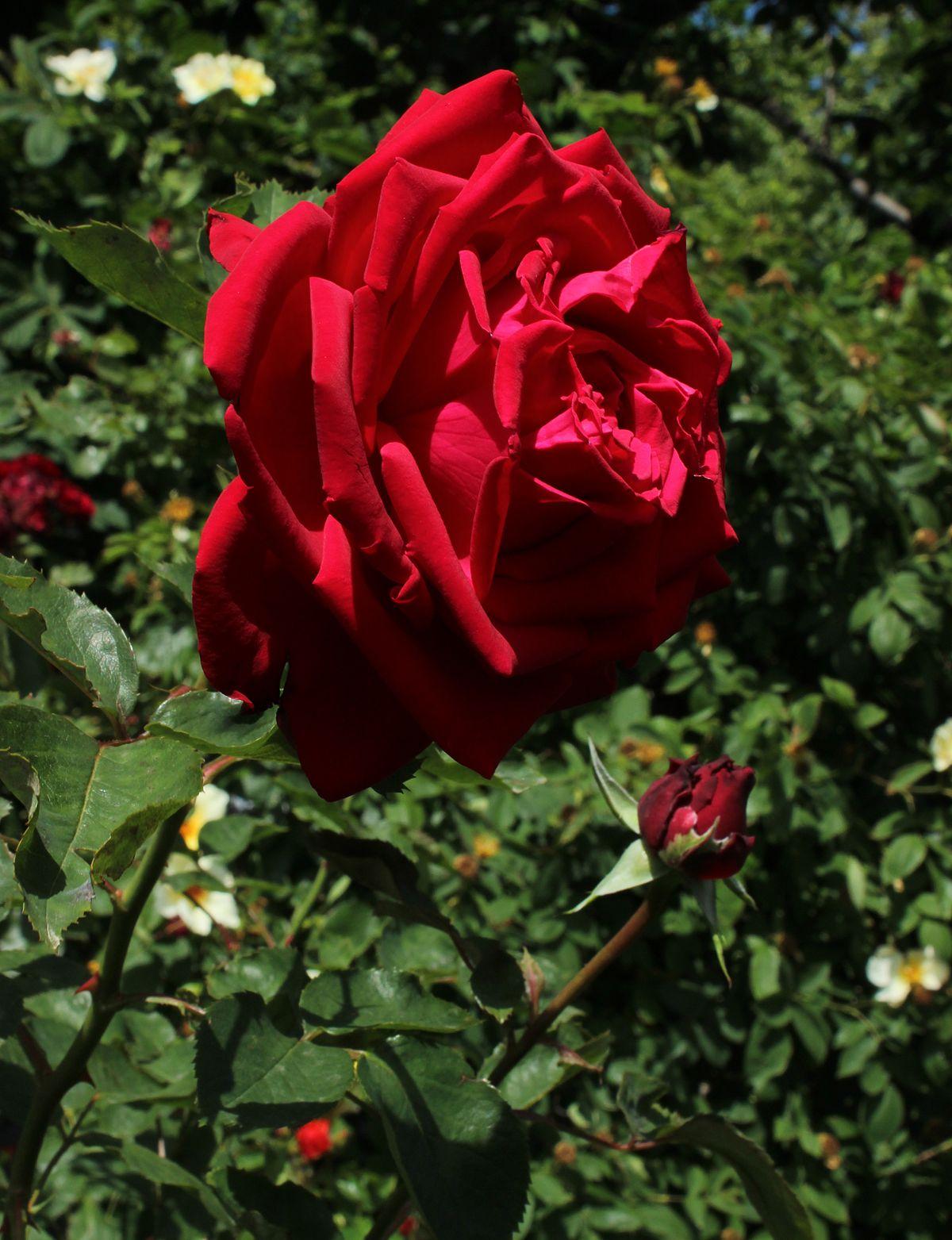 меня конец роза сорт софи лорен описание фото вам