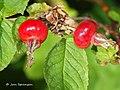 Rosa majalis fruit (11).jpg