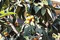 Rosales - Eriobotrya japonica - 2.jpg