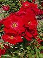 Rosarium Baden Rosa 'Austriana' Tantau 1996 01.jpg