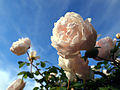 Rose,Glamis Castle, バラ, グラミス キャッスル, (10362870106).jpg