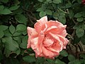 Rose from Lalbagh flower show Aug 2013 8538.JPG