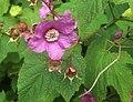 Rosenhallon (Rubus odoratus) 6859.jpg