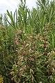 Rosmarinus officinalis kz02.jpg