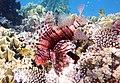 Rotfeuerfisch, lionfisch (рыба-зебра, рыба-лев). DSCF1368BE.jpg
