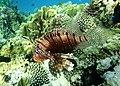 Rotfeuerfisch, lionfisch (рыба-зебра, рыба-лев). DSCF1371BE.jpg