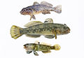 Round goby three pieces on white background.jpg