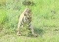Royal Bengal Tiger-The Roar of Safari Park.jpg