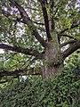 Royal Oak Tree, Surrey, branches.jpg