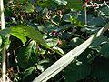 Rubus-plicatus-fruit.JPG