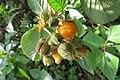 Rubus ellipticus - Yellow Himalayan Raspberry - at Ooty 2014 (2).jpg