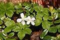 Rubus pedatus (flower s3).jpg