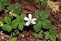 Rubus pedatus s2.jpg