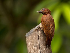 Rufous woodpecker.jpg