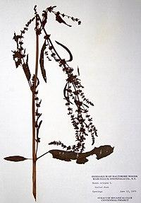 Rumex crispus ssp. crispus BW-1979-0612-0527.jpg