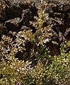 Ruscus aculeatus 20090807 4.jpg