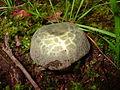 Russula virescens 107410.jpg
