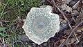 Russula virescens 5.jpg
