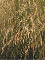 Ruwe smele bloeiwijzen Deschampsia cespitosa.jpg