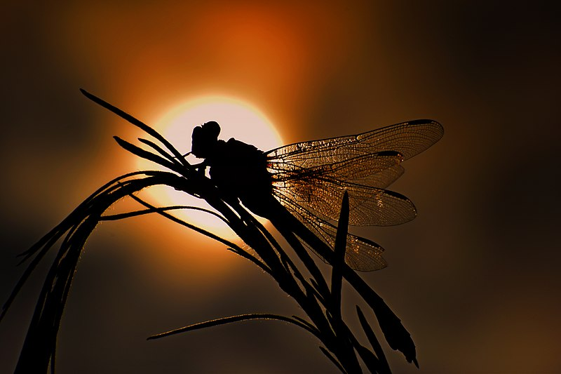 File:SIGN of a SOLAR EMPIRE - Dragonfly.jpg
