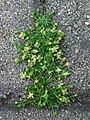 Sagina procumbens.jpg
