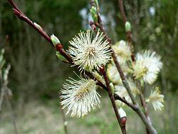 Salix acutifolia Willd..jpg