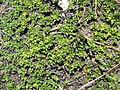 Salix serpyllifolia02.jpg