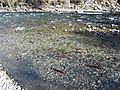 Salmon run at Adams River 2010 (5074059869).jpg