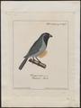 Saltator ater - 1700-1880 - Print - Iconographia Zoologica - Special Collections University of Amsterdam - UBA01 IZ15900397.tif