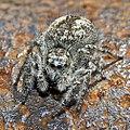 Salticidae - Philaeus chrysops (female).jpg