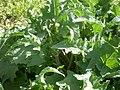 Salvia barrelieri 2a.jpg