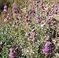 Salvia dorrii 4.jpg