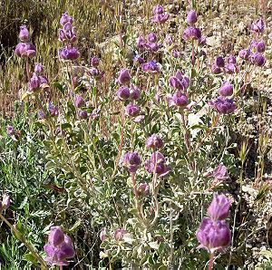 Salvia dorrii - Image: Salvia dorrii 4