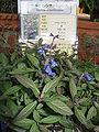 Salvia sinaloensis2.jpg