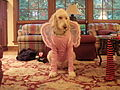 Sam the poodle in a fairy costume.jpg