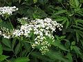 Sambucus chinensis 2.JPG