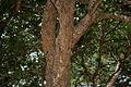 Sapindus emarginatus W IMG 3788.jpg