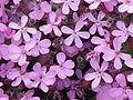 Saponaria ocymoides1.jpg