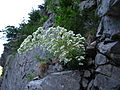 Saxifraga longifolia, J. Garmendia 4806.JPG