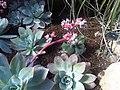 Saxifragales - Echeveria sp. 2.jpg